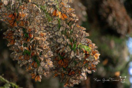 Monarch Butterflies – multiday