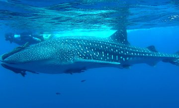 Gray Whales and Whale Sharks