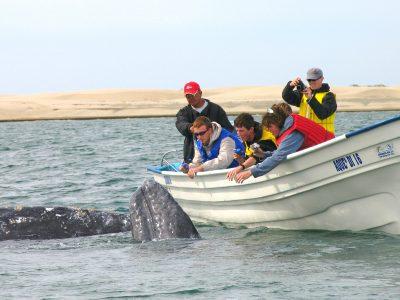 Gray Whales of Magdalena Bay
